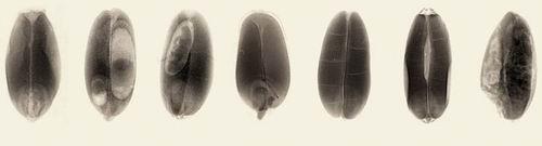 Примеры установленных признаков повреждения зерна